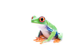 Red-eyed tree frog isolated Royalty Free Stock Photos
