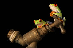 Red eyed tree Frog isolated Royalty Free Stock Photography