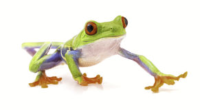 Red eyed tree frog isolated on white Stock Photography