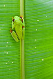 Red-eyed tree frog on leaf Royalty Free Stock Images