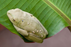 Red-eyed tree frog on a leaf Royalty Free Stock Photography