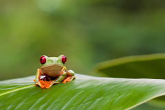 Red-eyed tree frog on leaf stock image