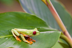 Red-eyed tree frog on leaf Stock Photos
