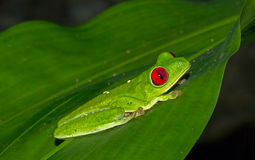 Red-eyed tree frog on a leaf Stock Image