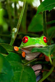 Red Eyed Tree Frog in Leaves Royalty Free Stock Image