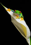 Red eyed tree frog. A red eyed tree frog on a lily isolated on a black background Stock Image