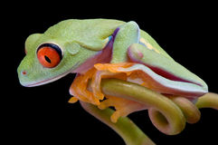 Red-eyed tree frog looking down. A baby red-eyed tree frog is looking down from his vine perch Royalty Free Stock Images