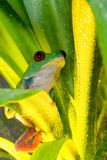 Red-eyed tree frog playing in the yellow light. Red-eyed tree frog looking at the leaves Stock Photo