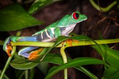 The red eyed tree frog looking. To the distance royalty free stock photos