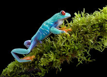 Red-eyed tree frog on mossy branch Stock Photo