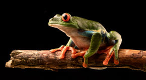 Red eyed tree frog at night. On a twig in the rain forest of Costa Rica. Agalchnis callydrias or Monkey treefrog is a nocturnal animal stock photo