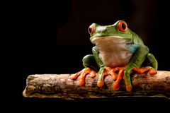 Red eyed tree frog at night stock photography