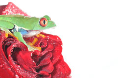 Red eyed tree frog ona rose Royalty Free Stock Image
