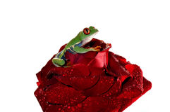 Red eyed tree frog ona rose Royalty Free Stock Photo