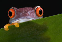 Red-eyed tree frog peek-a-boo 2. A baby red-eyed tree frog is peeking over a leaf Stock Images