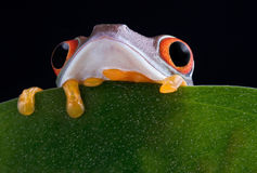 Red-eyed tree frog peek-a-boo Stock Photo