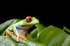 Red-eyed tree frog on plant Stock Photography