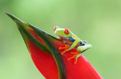 Red-eyed tree frog on plant Stock Image