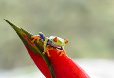 Red-eyed tree frog on plant Stock Photos