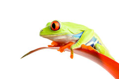 Red-eyed tree frog on plant isolated Stock Photos