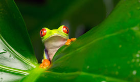 Red eyed tree frog. A red eyed tree frog in a plant leaf looking at the camera Royalty Free Stock Photo