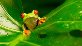 Red eyed tree frog. A red eyed tree frog in a plant leaf looking at the camera Stock Photo