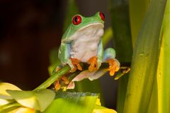 Red-eyed tree frog playing between orchids. Red eyed tree frog sitting and swinging on the orchid flower stem Royalty Free Stock Photos