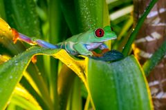 Red-eyed tree frog playing in the yellow light. Red-eyed tree frog playing on the leaves Stock Images