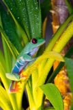 Red-eyed tree frog playing in the yellow light. Red-eyed tree frog playing in the terrarium Stock Photo