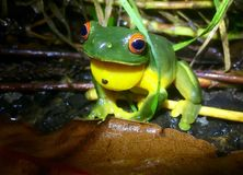 Red eyed tree frog in a rainforest Stock Photo