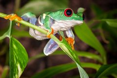Red eyed tree frog ready to jump. Tight tree frog swings on the plant and ready to jump royalty free stock image