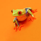 Red eyed tree frog with red eyes leaning forward on orange backg Royalty Free Stock Photography