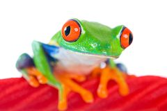 Red Eyed Tree Frog on a red licorice rope Royalty Free Stock Images