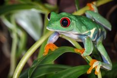 Red eyed tree frog redy to jump. Red eyed tree frog in the terrarium stock image