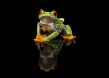 Red Eyed Tree Frog on with reflection Royalty Free Stock Images