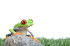 Red-eyed tree frog on rock Stock Photos