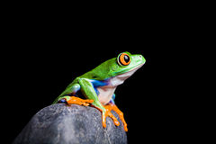 Red-eyed tree frog on a rock Royalty Free Stock Photography