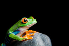 Red-eyed tree frog on a rock isolated Stock Photo
