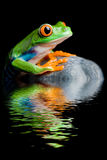 Red-eyed tree frog on a rock isolated stock images