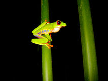 Red eyed tree frog sitting on a branch. With a dark background Stock Image