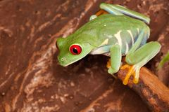 Red eyed tree frog in the terrarium. Red-eyed tree frog sitting on a branch and looking down Stock Image
