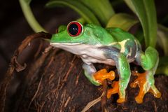Portrait of cane-corso dog in the yard. Red eyed tree frog sitting on the coconut and ready to jump royalty free stock photography