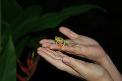 Red-eyed tree frog. Sitting on hands Royalty Free Stock Photos
