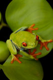 Red eyed tree frog sitting on leaf with black background Stock Image