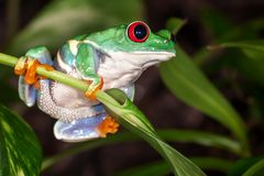 Red eyed tree frog sitting on the leaf. Tight tree frog swings on the plant stem with leaf royalty free stock photos