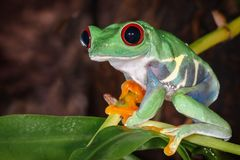 Red eyed tree frog sitting on the pitcher plant stem. Red eyed tree frog with big and protruding eyes sitting on the pitcher plant stem stock photos