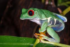 Red eyed tree frog sitting on the pitcher plant stem. And looking down stock photography