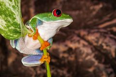 Red eyed tree frog sitting on the plant mast. Red eyed tree frog swings on the plant stem with leaf royalty free stock photo
