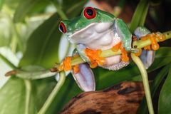 Red eyed tree frog sitting on the plant stem and swing. Red eyed tree frog with big gums sitting on the plant stem stock photography