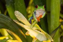 Red-eyed tree frog sitting between orchid. Red eyed tree frog sitting on the yellow orchid and looking at camera Royalty Free Stock Image